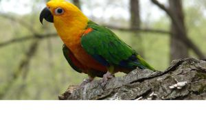 Tiki- A jenday conure with seizures